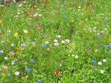 Доклад на тему луговые растения 8048