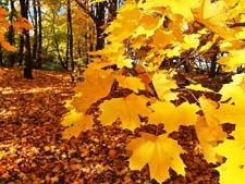 Как выглядят клены осенью. Рассказ детям