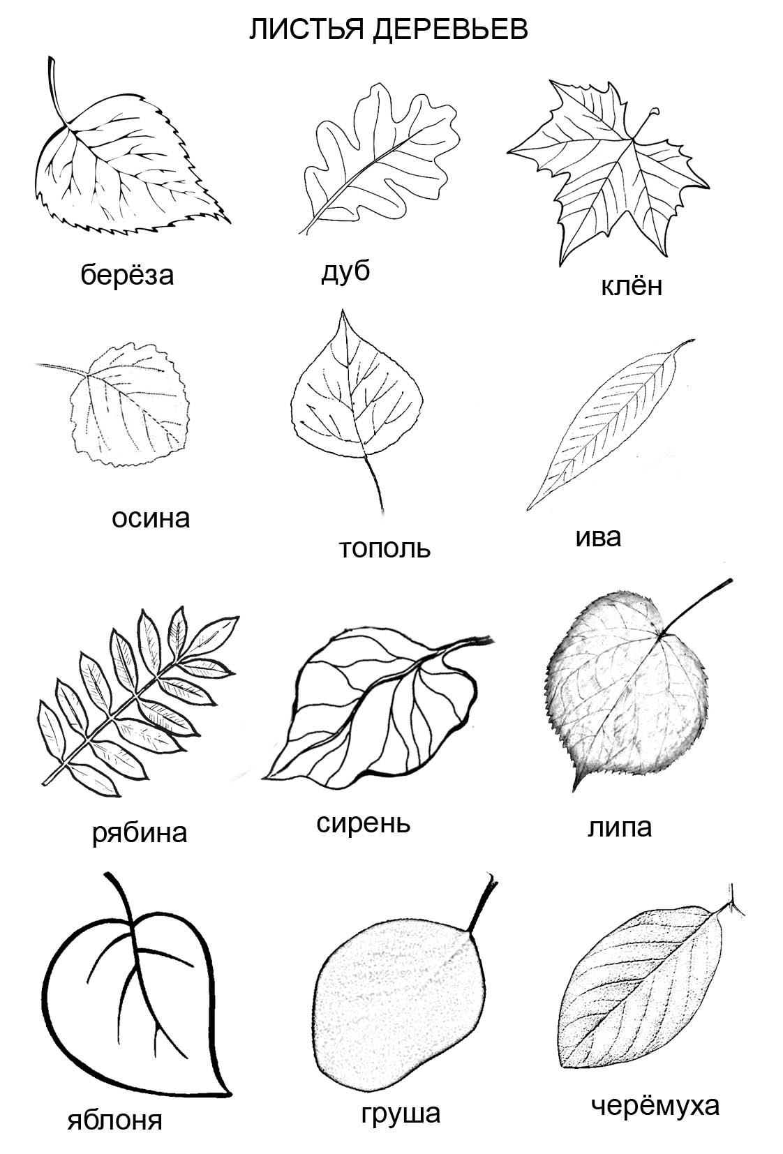 Раскраска «Листья деревьев» (12 видов)