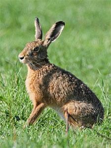 За двумя зайцами погонишься ни одного не поймаешь картинка