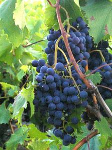 новостройке 3 сентября день винограда стихи потребует особых