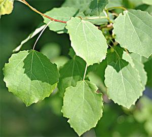 фото лист осина