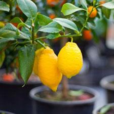 limon_stihi