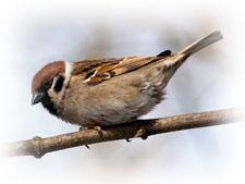 Âîðîáåé ïîëåâîé, Passer montanus, Tree Sparrow.