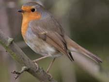 сочинение про птицу зарянка