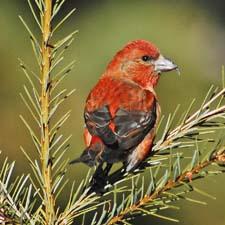 Стихи про птицу клест