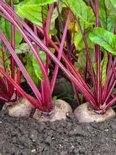 Как вырастить хороший урожай свеклы?
