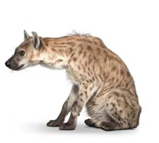Сказка «Почему у гиены некрасивая шкура?» Слушать