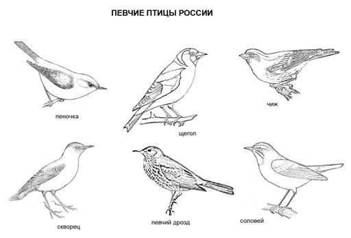 Певчие птицы России. Раскраска