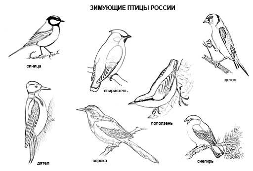 Зимующие птицы России. Раскраска